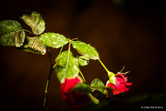 Thank you! ... Thank you! (peter3400) Tags: red rose sony sonyalpha slta77