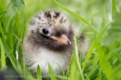 Arctic Tern Chick (Linda Martin Photography) Tags: uk baby bird animals wildlife ngc chick inner northumberland npc farne farneislands arctictern sternaparadisaea coth