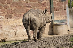Chester Zoo (409) (rs1979) Tags: zoo chester rhino blackrhino chesterzoo