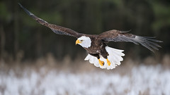 Bald Eagle (Dara Lork) Tags: bird canon eagle wildlife bald cano raptor prey 200400mm 1dx