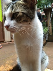 Macadamia nut farm mouser (artnoose) Tags: kitty summer mouser farm nut macadamia purdy hawaii tabby cat molokai