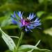 Bee on Centaurea