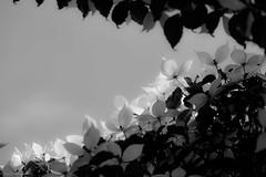 ヤマボウシ 画像47