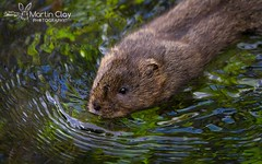 Water Vole - 16th May 2016 (TopBeater) Tags: watervole water vole anton rooksburymill rooksbury voles river rooksburymilllnr hampshirewildlife andover