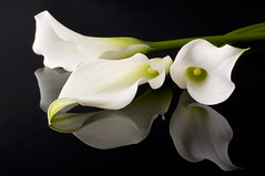 106211432 (tigercop2k3) Tags: background beautiful beauty bloom blossom botanic bud calla close closeup curl curve delicate elegant fine flora floral flower fragile gift green grow isolated light lily macro natural nature one passion petal plant sensual stem three white yellow