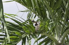 Alimentando (Sniper PR) Tags: pitirre crias ave aves birds palmas nido