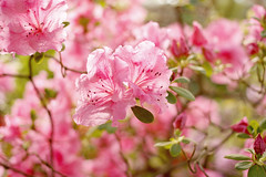 azalea (Ignate) Tags: pink flowers bloom azalea