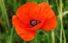 Poppy 070616 (5) (Richard Collier - Wildlife and Travel Photography) Tags: flowers red macro closeup flora naturalhistory poppy poppies wildflowers flowersenglishflowers