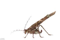 Lichen katydid (Paraphidnia sp.) (ggallice) Tags: lichenkatydid orthoptera ensifera tettigoniidae paraphidnia