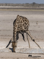 Namibia_060516_0968 (Roni Chastain Photography) Tags: namibia etosha park wildlfe animals africa safari etoshapark