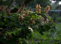 IMG_0139.CR2 (jalexartis) Tags: flowers summer flower blossom bloom hydrangea shrub shrubbery driedflowers oakleafhydrangea driedblossoms driedblooms