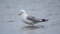 Goeland Bec Cercl - Ring-billed Gull (2016) (boudrod) Tags: gull bec goeland ringbilled cercl