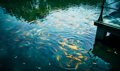 Red Carp at Flower Pond, West Lake, Hangzhou (Lengs83) Tags: school red fish water crowd group westlake hangzhou carp