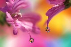 I reflect in you (Marilena Fattore) Tags: pink flowers light macro reflection nature water colors closeup canon creativity petals focus artistic pastel softness drop delicate waterdrops tamron floralart