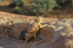 Southern Desert Horned Lizard (Phrynosoma platyrhinos calidiarum) (Gavin Beck) Tags: nature canon outdoors utah desert reptile wildlife young naturallight lizard southern mojave mojavedesert naturephotography lseries llens desertlife canonlglass canon5diii