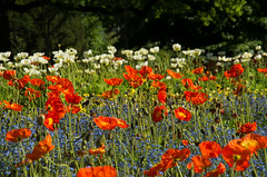 colours (Knarfs1) Tags: flowers nature fleur wiese blumen poppies freiburg purely mohn stadtgarten