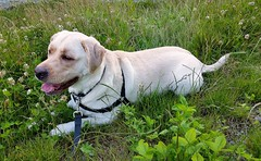Gracie lying in the grass (walneylad) Tags: summer dog pet cute june puppy gracie lab labrador canine labradorretriever