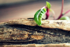 okami (overthemoon) Tags: wood leaves vegetable driftwood crossprocessing utata spinach ip 237 okami ironphotographer utata:project=ip237