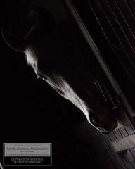 Shadows and Highlights - feeling creative but still using the natural light available. #horse #equine #equestrian #equestrianphotographer #lightanddark #highlightsandshadows #nikon #nikondigital #nikonphotography #nikond810 #rachelmaddoxphotography (rmaddoxphotography) Tags: horse nikon nikondigital equestrian equine lightanddark highlightsandshadows nikonphotography nikond810 equestrianphotographer rachelmaddoxphotography