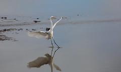 white heron theatre (keith midson) Tags: bird heron wow flight landing wetlands tasmania brilliant legana