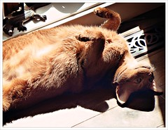 Day 186 - Sun Worshiper (Free 2 Be) Tags: dailyphoto upsidedown loki 365 project365 pet photoaday aby sun 116photosin2016 cat explore explored