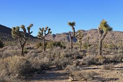 Joshua Trees (Sam Howzit) Tags: california nature outdoors nationalpark desert joshuatree joshuatreenationalpark desertqueenmine desertqueenmineloop