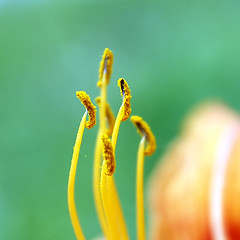 Tiger Lily's Stamen (Johnnie Shene Photography(Thanks, 1Million+ Views)) Tags: tigerlily lily stamen macro closeup magnified adjustment square depthoffield foregroundfocus backgroundblur flora floral flower plant flowering photography outdoor colourimage fragility freshness nopeople tranquility tranquilscene nature natural wild wildlife livingorganism summer day daylight korea orangecolour interesting awe wonder canon eos600d rebelt3i kissx5 sigma 1770mm f284 dc lens      shene81
