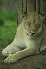 Lioness 2 (iamdeertail) Tags: zoo cincinatti lion lioness tiger tigeress monkey monkeys tree nap napping naps laying tail african cat big carnivore herbivore omnivore mammal reptile amphibian bird fish pounce fossa train leaf leaves squirrel post july