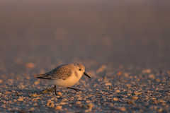 Solitary Sanderling (PeterBrannon) Tags: beach calidrisalba florida shorebird sanderling smallwhiteshorebird sunrise