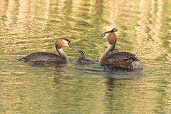 Great Crested Grebe Family (Gareth Keevil) Tags: uk family wild summer portrait detail birds headshot freeride humbug greatcrestedgrebe rspb hamwall nikond810 nikon500mm garethkeevil