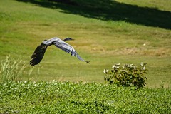 Flying Away (brev99) Tags: park bird ngc greatblueheron bif birdinflight d7100 topazdenoise tamron70300vc highqualityanimals