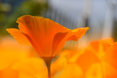 Sun is Like Orange (C-Smooth) Tags: poppies californianpoppy