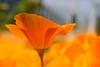 Sun is Like Orange (C-Smooth) Tags: poppies californianpoppy