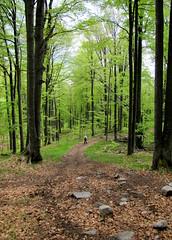 erdei séta / forest walk (debreczeniemoke) Tags: green forest landscape spring walk land tavasz táj tájkép zöld erdő séta rozsály canonpowershotsx20is igniş