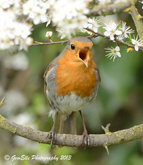 Romantic Robin (GemElle Photography) Tags: red bird robin nikon blossom bloom gemelle redbreast sigma50500 d600 gemelle1