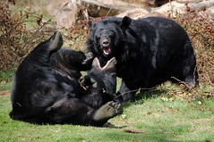 Anholter Schweiz #1 - Playing Black Bears (tokek belanda (very busy)) Tags: bear playing black beer germany deutschland zoo schweiz explore zwart tiergarten duitsland dierentuin spelen westfalen nordrhein anholt anholter stoeien explored hganimalsonly