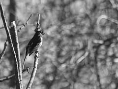 Endless Thought (Raccoon Photo) Tags: park wood flowers ohio wild blackandwhite lake green bird love nature beautiful beauty leaves birds animal animals loving reflections walking fun spring nice pond woods warm day natural metro walk wildlife birding may parks trails growth trail reflect buds growing bud ponds magical birdwatching budding walkinginnature issac wooded qualitytime easterntowhee niceday daysoff lakeissac