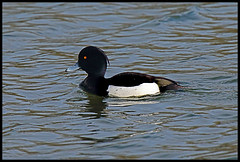 JW6A3606 (M_squared Images) Tags: duck tufted aythya fuligula wilts steeplelangford langfordlakes msm1935