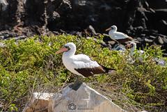 Small colony of masked Boobies (Vojvoda Fine Art Photography) Tags: equateur galapagos foumasque nidification oiseau ec amériquedusud
