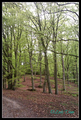 Bright, Beautiful and Fresh...... (Lady Dane (will never catch up)) Tags: forest denmark spring danmark beech djursland