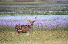 Thalawila (Sara-D) Tags: nature animals forest nationalpark asia wildlife deer sl lanka jungle spotted srilanka ceylon lk axis srilankan wildanimals southasia sarad cervidae serendib wilpattu spotteddeer axisaxis saranga dealwis theimagesofsrilanka wilpattunationalpark sarangadeva