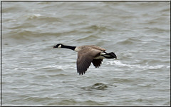 Canada Goose (PaulHP) Tags: canada london thames river flying canadian goose canadensis branta
