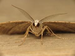 Itame vincularia (dhobern) Tags: spain europe may lepidoptera geometridae ennominae tarragona pontdeldiable itame 2013 taxonomy:order=lepidoptera taxonomy:family=geometridae vincularia taxonomy:binomial=itamevincularia taxonomy:genus=itame itamevincularia geocode:accuracy=14 geo:lat=411456 geo:lon=12439