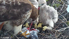 eating pigeon (Cornell Lab of Ornithology) Tags: red bird big university cams cornell redtailedhawk nestlings labofornithology cornelllabofornithology