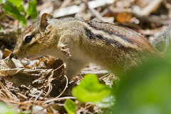 IMG_5934 (eleivory) Tags: nature animal animals canon wildlife chipmunk arnoldarboretum canonef100400mmf4556lisusm 550d rebelxt2i