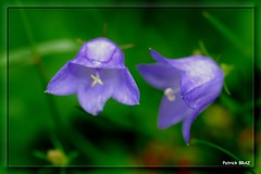 Campanule  feuilles rondes (Campanula rotundifolia) (Patchok34) Tags: mountain france flower nature fleur montagne nikon franchecomt nationalgeographic montdor doubs mywinners flickraward nikonfrance massifdujura nikonflickraward campanulefeuillesrondescampanularotundifolia