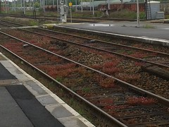 Printemps ferroviaire (Mai 2013) (Ostrevents) Tags: pink france flower fleur station weather rose spring europa europe time gare north platform rail temps railways quai printemps nord spoor flore mto chn douai flickrandroidapp:filter=none ostrevents
