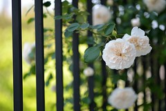 Rose 'Sombreuil' in the fence of the balcony (myu-myu) Tags: flower nature rose japan fence nikon mygarden  d800  sombreuil  makroplanart2100zf