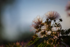 Mimosa Dream 02 (BullockStudios) Tags: pink red white flower tree green fan texas katy south feather bloom fiber mimosa