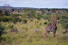 Parc Kruger (ClaudeVoyage) Tags: animaux preview girafe